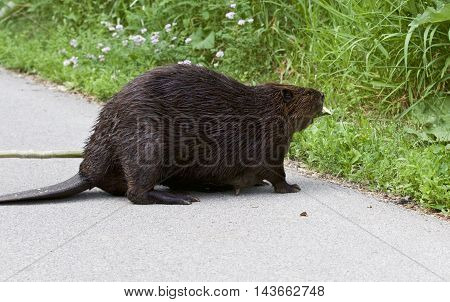 Detailed closeup of a funny North American beaver in front of the grass