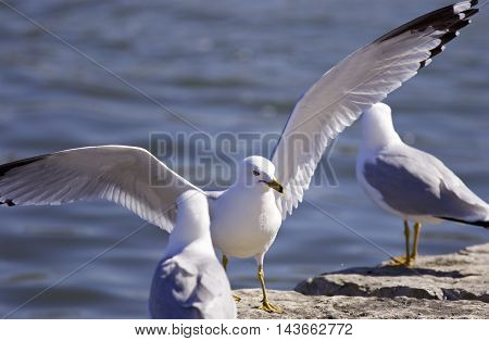 Beautiful background with the gull staying on the rocks with the wings opened