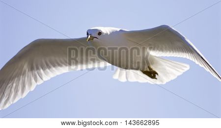 Very beautiful isolated photo of the flying gull with the wings opened