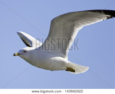 Isolated photo of the gull's flight in the blue sky