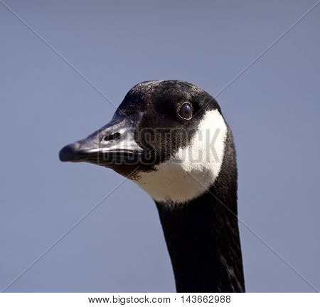 Funny portrait of a cute Canada goose