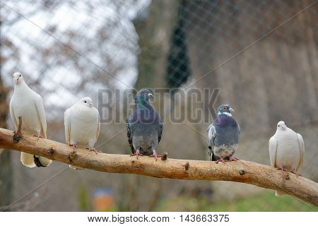 pigeons sit on a tree branch, close up
