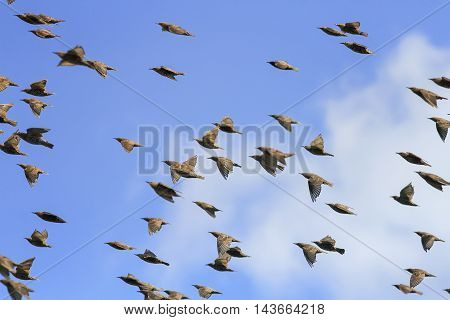 a flock of black birds starlings flying high in the blue sky