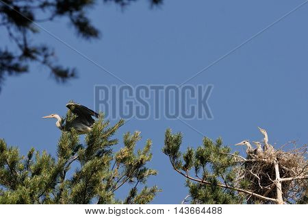 Three Grey Heron (Ardea cinerea) juvenile birds in the nest and parent bird at neighboring tree. National park Plesheevo Lake Yaroslavl region Russia