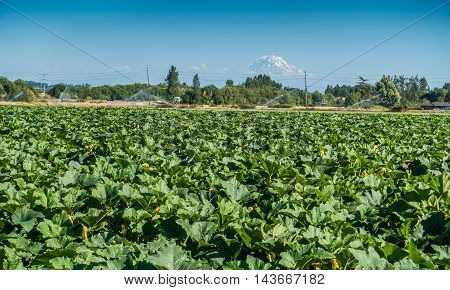 Summer crops grow in a field with Mount Rainier in the distance.