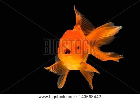 orange gold fish , isolate on background