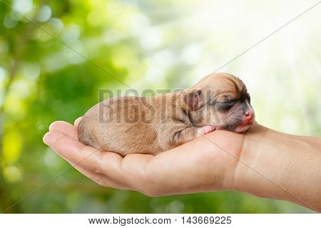 newborn chihuahua puppy in the caring hands on green blurred background and sunlight.