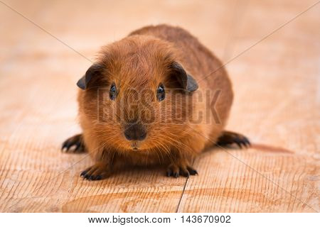 young guinea pig on the wooden background