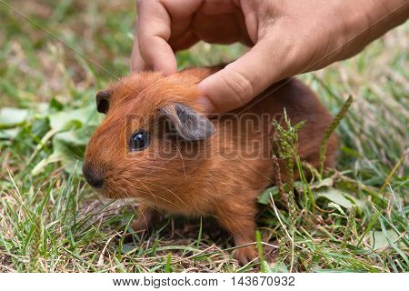 hand stroking young guinea pig in the grass