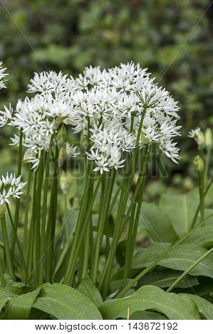 A wild garlic plant with White blossom
