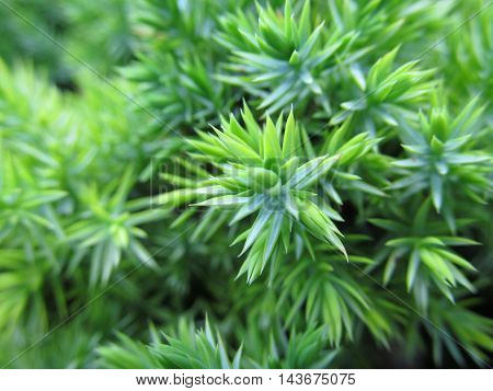 Lush vivid green fresh pines juniper close up