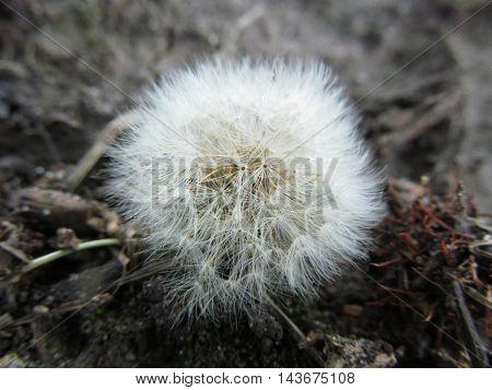 Dandelion blowball flower macro close up photo