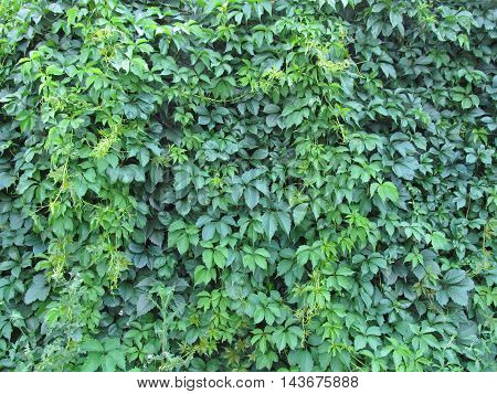 Vivid green lush virginia creeper wall texture background