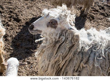 livestock woolly countryside lamb on the farmyard