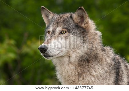 Grey Wolf (Canis lupus) Looks Out - captive animal