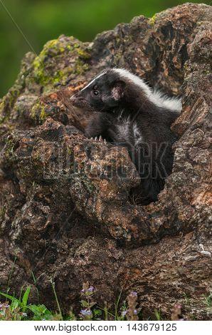Striped Skunk (Mephitis mephitis) Looks Left From Log - captive animal