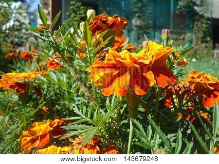 Red-orange Tagetes on the flowerbed in the garden of