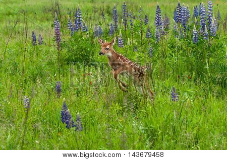 White-Tailed Deer Fawn (Odocoileus virginianus) Jumps - captive animal
