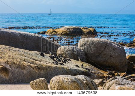 African black-white penguins. Boulders Penguin Colony in the South Africa. Large rocks and seaweed on the Atlantic Ocean. The concept of ecotourism