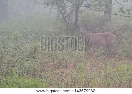 White Tailed Deer In Dense Fog