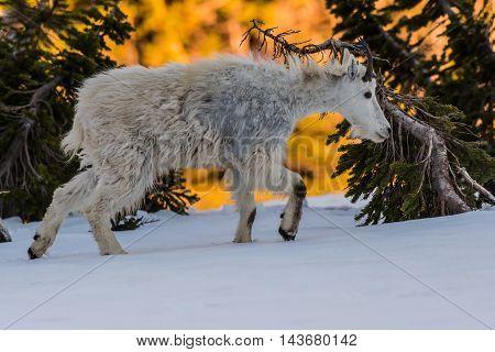 Young Mountain Goat Walks Through Snow