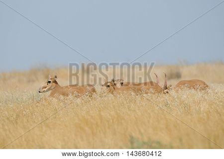 Critically endangered wild Saiga antelopes (Saiga tatarica) in steppe. Federal nature reserve Mekletinskii Kalmykia Russia August 2015