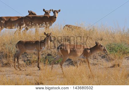 Critically endangered wild Saiga antelope (Saiga tatarica) herd in morning steppe. Federal nature reserve Mekletinskii Kalmykia Russia August 2015