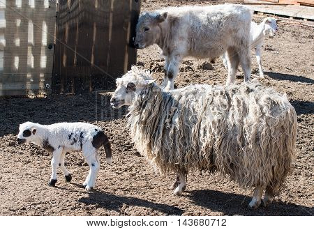 lamb on the farmyard woolly, farming sheep