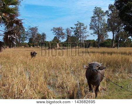 Water buffalo nearby Angkor Wat temple complex in Siam Reap, Cambodia