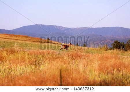White tail deer in a field of Wheat, Barley and Alfalfa growing wild.
