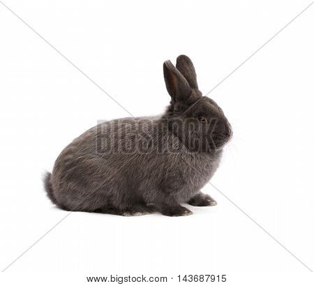 Purebred Vienna glaucous-blue rabbit on white cloth