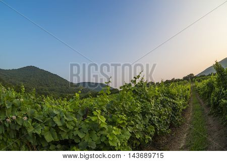 Panorama of vineyards and mountain at the sunset in Abrau-Durso, Russia.