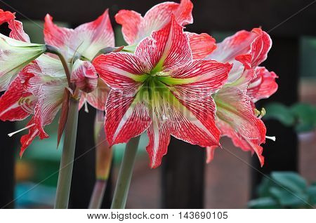 White and red Amaryllis flowers in a garden