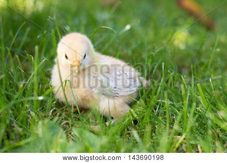 Baby Chicken Walking On Grass