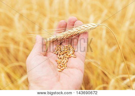 golden harvest in hand over field