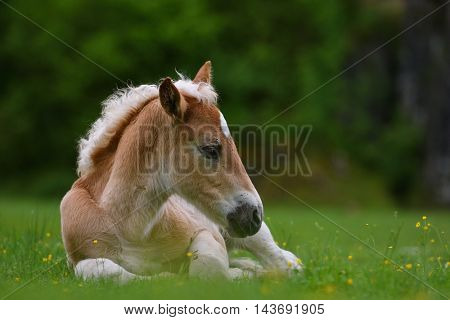 Young cute foal outdoor resting in the grass