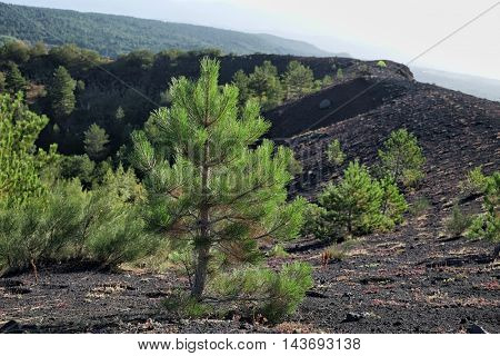 young pines colonize a old volcanic crater in Etna Park, Sicily