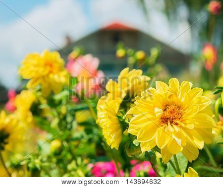 Rural landscape. Wooden house green trees foreground flowers color pink purple yellow flowerbed of flowers aster