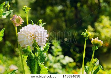 Autumn Flowers Blooming white chrysanthemum white chrysanthemum buds green nature