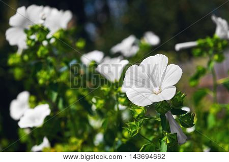 White garden flowers Annual mallow Lavatera trimestris other name Rose Mallow Royal Mallow and Regal Mallow Lavatera.