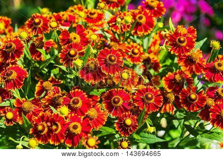 Yellow-orange red Gaillardia aristata flowers green field sunflower blanket flower and common Gaillardia