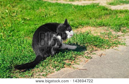 Black and white cat sitting outside on the grass and scratching his ear cat basking in sun