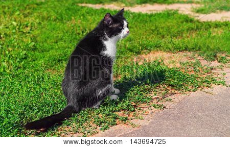 Black and white cat sitting outside on the grass and looking away cat basking in sun