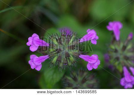 Macro of a wild basil flower (Clinopodium vulgare)