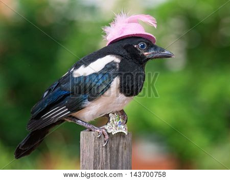 Magpie thief stealing a shine jewellery on wooden fence on green background.
