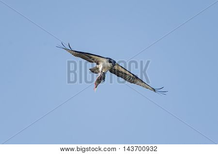 Osprey in flight aligning latest catch for smooth sailing