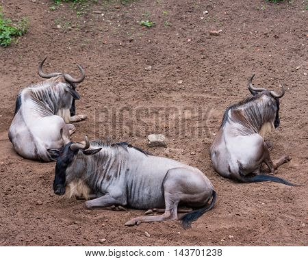 Eastern white-bearded wildebeest relaxing. Small group of Gnu lying on the ground.