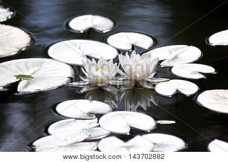 two white flower lotus with reflection on water