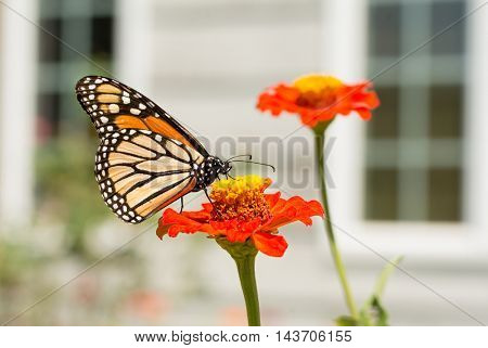 Monarch butterfly feeding on a Zinnia in front of house windows