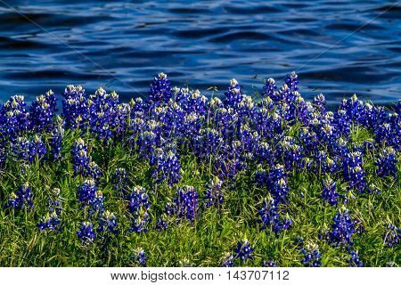 Texas Bluebonnets At Muleshoe Bend In Texas.